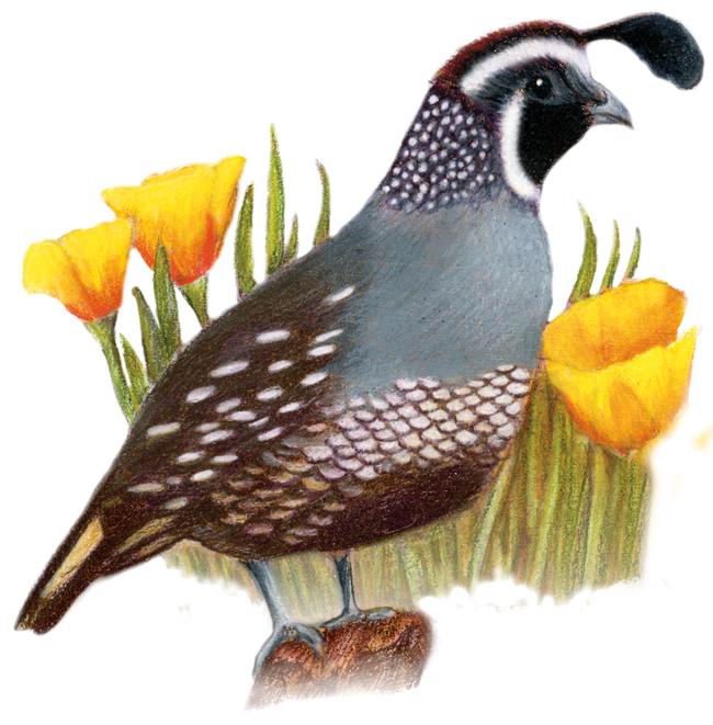 Texas State Flower Is A Bluebonnet Texas State Bird Is A