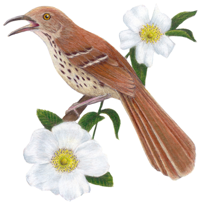 georgia state bird and flower -#main