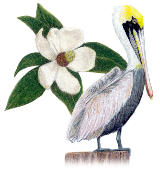 Louisana State Bird And Flower Brown Pelican Pelecanus