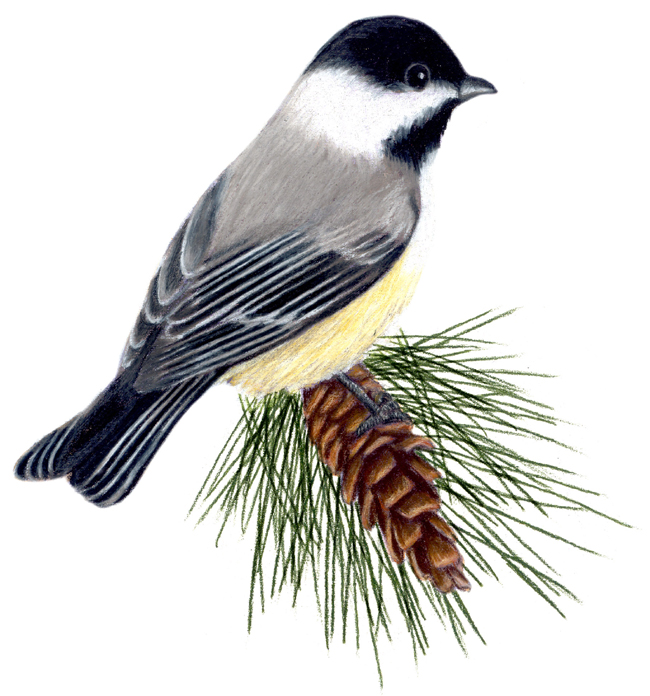 Maine State Bird and Flower: Black-capped Chickadee ...
