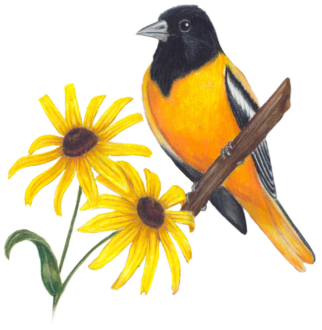 maryland state bird and flower baltimore oriole icterus galbula