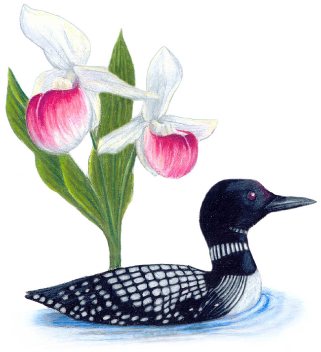 Minnesota State Bird and Flower: Common Loon / Gavia immer | Pink and White Lady's Slipper / Cypripedium reginae
