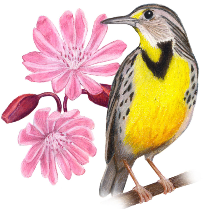 Montana State Bird and Flower: Western Meadowlark / Sturnella neglecta   Bitterroot / Lewisia rediviva