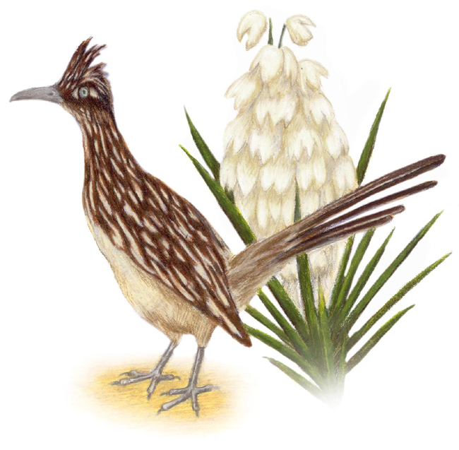 NEW MEXICO STATE Bird and Flower: Roadrunner / Geococcyx californianus ...