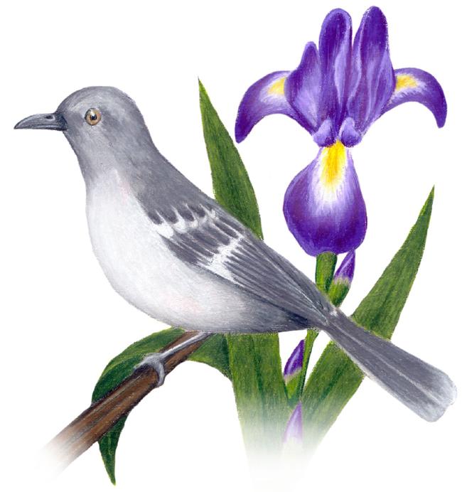 Tennessee State Bird And Flower Mockingbird Mimus Polyglottos