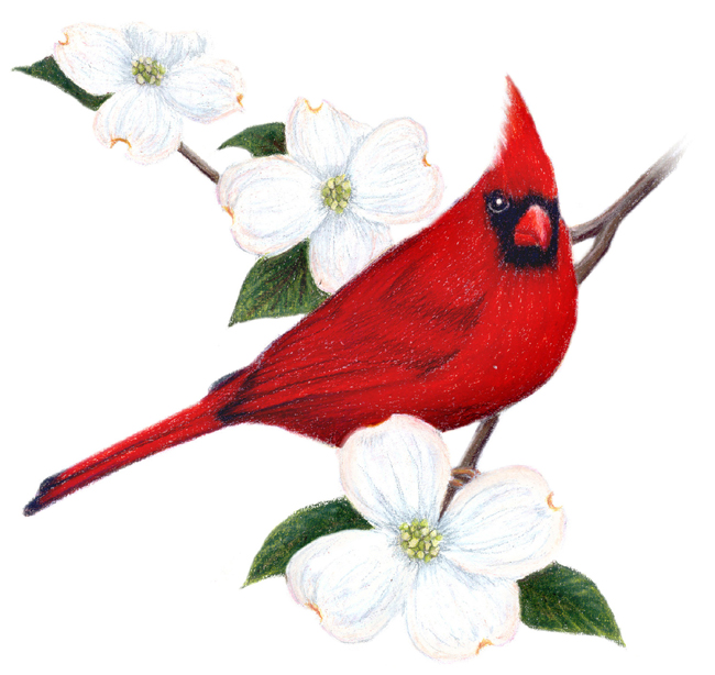 Virginia State Bird And Flower Cardinal Cardinalis