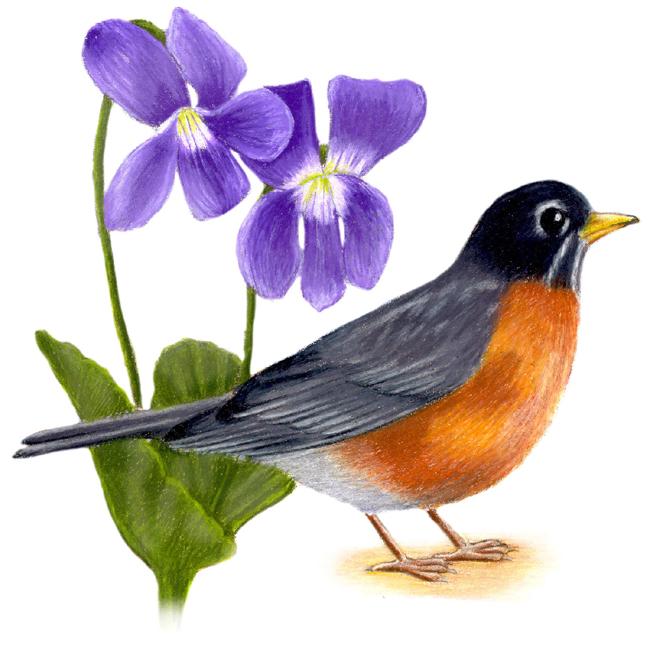 Wisconsin State Bird and Flower: American Robin / Turdus migratorius | Wood Violet / Viola papilionacea